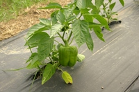 Orion_bell_peppers_09