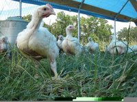 Pastured_chickens