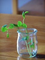 Snow_pea_tendril_2