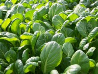 Jap_spinach_2